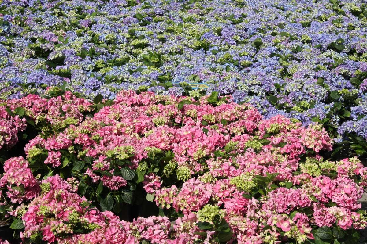 bloemen_hortensia_geraniummarkt